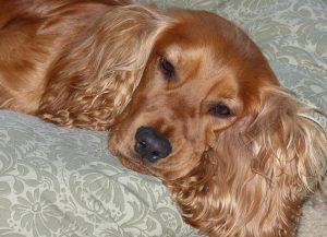 cocker-spaniel-pure-bred-relaxing.jpg