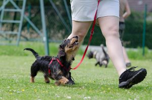 trainer-walking-dachshund