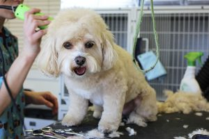 using-clippers-to-groom-dog